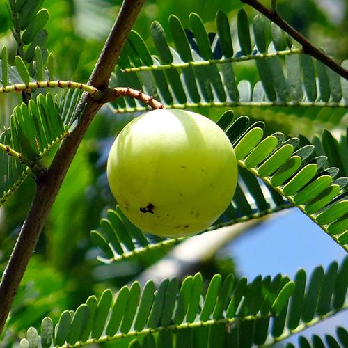 aroma-amla-pandarancia